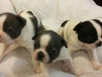"Now taking deposits for this litter of three ""splash"""