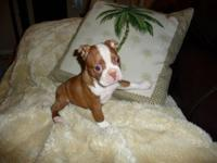 Thank you for your interest in our Boston Terriers. We