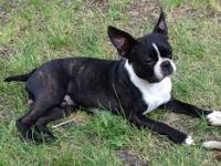 My Boston Terrier, Oliver, is a successful stud and