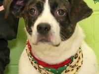 Boston Terrier - Albany - Medium - Young - Female -