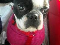 Boston Terrier - Amber - Small - Young - Female - Dog