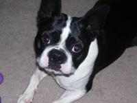 This is Moe, he is a male Boston Terrier. He belonged