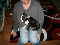We have one Boston Terrier left its a male.We named him