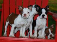 2 male ACA Boston Terrier puppies $400 each. Will be