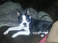 We are currently selling our pure bred boston terrier