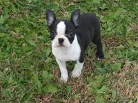 I have a full blooded male Boston Terrier puppy he is