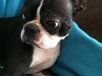 Pure bred Boston Terrier, neutered male with existing