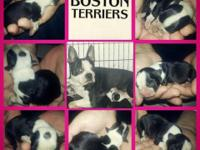 I have 5 female boston terrier 8 week. They will
