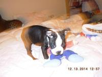 Boston Terriers 2 males and 2 ladies Sire and Dane on
