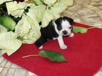I have Ckc reg. Boston Terrier young puppies for sale