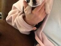 I have one baby Boston Terrier puppy he's a little boy