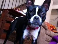 Purebred Boston Terrier to rehome. $400 firm.  She