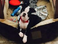 3 months old AKC Boston terrier, male, medical records