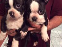 Beautifull Boston Terrier puppies,purebreed no papers