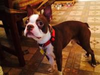 Hi this is a beautiful Boston terrier i'm trying to