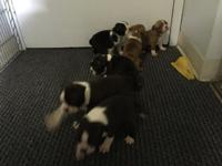 Hi, I have 6 purebred Boston Terrier, 4 males and 2
