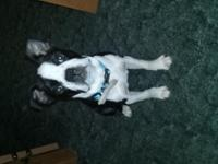 21 week Boston terrier puppy Up to date on shots Sweet,