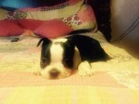 Hi I'm selling a Boston Terrier ready to go to a good