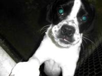 Boston Terrier - Ammo - Medium - Young - Male - Dog