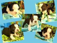 Boston Terriers, AKC, S/W. Good marks! $750 up.  or