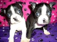 Description BOSTON terrier BABIES AVAILABLE NOW TO GO