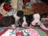 Boston Terrier Babies black/white and brindle/white