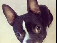 Boston Terrier - Bam In Colo - Small - Young - Male -