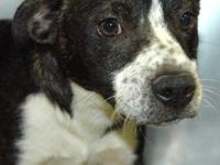Boston Terrier - Bert *courtesy* - Medium - Baby - Male