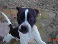 Boston Terrier - Bishop - Small - Young - Male - Dog