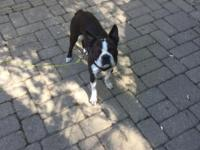 Great Boston terrier, has papers, 1.5 years old, not