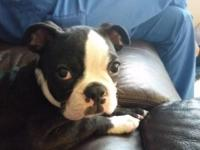 Beautiful Male Boston Terrier available. He is very