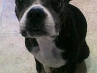 Boston Terrier - Bosworth Jay - Medium - Adult - Male -