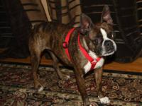 Boston Terrier - Brandi - Small - Adult - Female - Dog