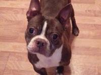 Boston Terrier - Bruno-adopted! - Small - Adult - Male