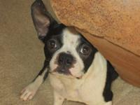 Boston Terrier - Candace - Medium - Young - Female -