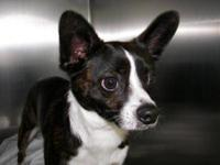 Boston Terrier - Cassidy - Small - Adult - Male - Dog