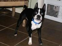 Boston Terrier - Chewy Barnes - Medium - Adult - Male -