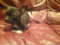 Cute little Boston terrier chihuahua mix girl . She