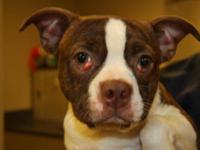 Boston Terrier - Chip-pending - Small - Young - Male -