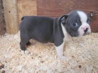 Boston Terrier - Country Bumpkin..pending - Small -