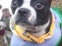 Boston Terrier - Daisy-pending - Small - Young - Female