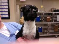Boston Terrier - Darcy-pending! - Small - Baby - Female