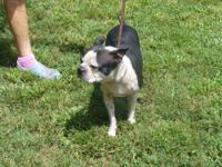 Boston Terrier - Desi Lu - Medium - Adult - Female -