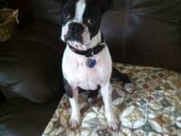 Boston Terrier - Dexter - Medium - Adult - Male - Dog