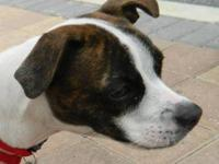 Boston Terrier - Diamond - Medium - Young - Female -