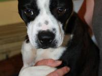 Boston Terrier - Diego - Small - Young - Male - Dog