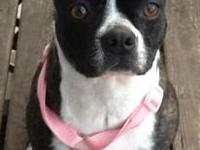 Boston Terrier - Dixie-pending - Small - Young - Female