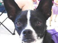 Boston Terrier - Dolly - Small - Adult - Female - Dog