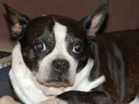 Boston Terrier - Ellie In Ia - Small - Young - Female -