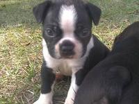 FCI - I have a beautiful males & Females Boston